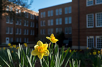 Daffodils with Lloyd-Ricks-Watson Building,<br />  (photo by Megan Bean / &copy; Mississippi State University)