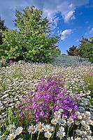 Oxeye daisies (Chrysanthemum leucanthemum) and Dame'es Rocket phlox (Hesperis matronalis) along roadway, South Carolina