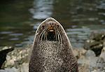 Southern fur seal, South Georgia Island