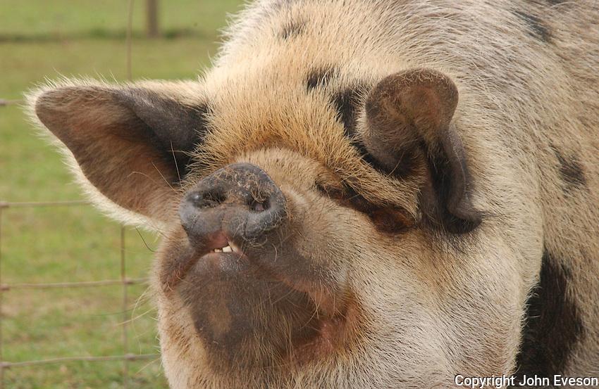 Kune Kune pig.