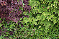 Foliage garden leaf tapestry with Chamaecyparis lawsoniana Nidiformis - Bird's Nest Cypress and Acer palmatum  'Red Select' on top left