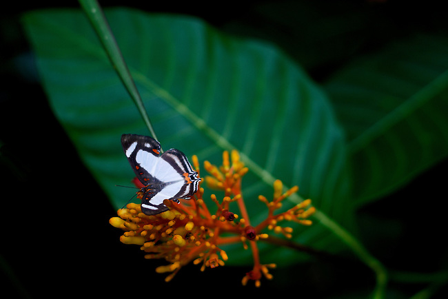 A beautiful little butterfly, with a wing span of about two inches, the Dog-faced Metalmark has a broad white bar running across its brown wings that are highlighted by reddish spots on the forewings and a orange band on the hindwings. The hind wing is slightely tailed making it look like it is the head. Also called Banner Metalmark.