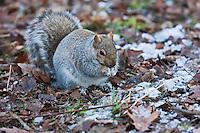 Amérique/Amérique du Nord/Canada/Québec/Montréal: Les écureuils du mont Royal : 233 m