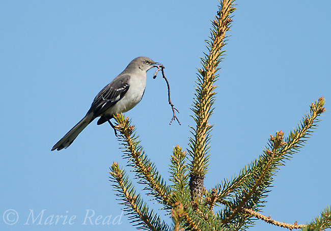 Northern Mockingbird (Mimus polyglottos), holding nest material in its bill, Interlaken, New York, USA