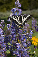 Pale Swallowtail (Papilio eurymedon) sunning on lupine.  Western U.S., June.