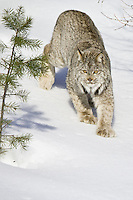 Canada Lynx walking down a snowy hill - CA