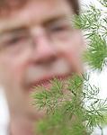 """Foto: VidiPhoto<br /> <br /> NAALDWIJK – Veel groener kan het niet. De ruim 21.000 vierkante meter kassen van Kwekerij Figaro uit Naaldwijk staan vol met decoratiegroen in vijf soorten. Vrijwel dagelijks worden de donkerste bladeren en stelen weggesneden om met name trouw- en grafboeketten bijzonder te maken en een speels volume te geven. Inmiddels zijn tegenslagen als trendbreuk en economische crisis achter de rug en draait het bedrijf van Marcel van Santen op volle toeren. Via de bloemenveilingen vinden wekelijks zo'n 40.000 groene stelen de weg naar de Nederlandse en buitenlandse bloemist, waarbij het wollige takje de Asparagus Umbellatus Myriocladis met 20.000 stuks de helft voor zijn rekening neemt. Van deze soort is Figaro de grootste leverancier in ons land. Het siergroen wordt jaarrond geleverd, waarbij de periode rond de feestdagen het meest hectisch is. Snoeien is groeien, oftewel, de planten groeien vanzelf weer aan. Alle gewassen staan meerdere jaren in de kas. En dat pas ook bij het karakter van de Naaldwijkse kweker. """"Ik hoef niet steeds nieuwe en perfecte soorten te kiezen. Dat laatste lukt een kweker nooit, dus je blijft altijd ongelukkig. Dit geeft rust."""""""