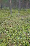 Pine Woodland, Lentiira, Kuhmo, Finland