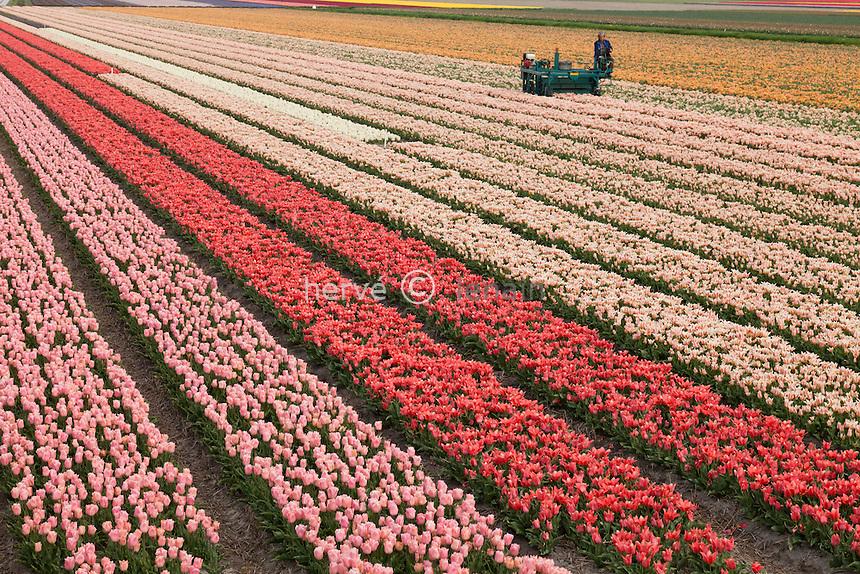 """Hollande, région des champs de fleurs, Lisse, champ de tulipes, machine à couper les fleurs pour favoriser le grossissement du bulbe // Holland, """"Dune and Bulb Region"""" in April, Lisse, fields of tulips and hyacinths, machine to cut flowers to encourage the enlargement of the bulb."""