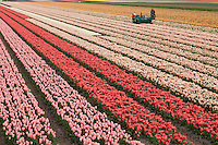 "Hollande, région des champs de fleurs, Lisse, champ de tulipes, machine à couper les fleurs pour favoriser le grossissement du bulbe // Holland, ""Dune and Bulb Region"" in April, Lisse, fields of tulips and hyacinths, machine to cut flowers to encourage the enlargement of the bulb."