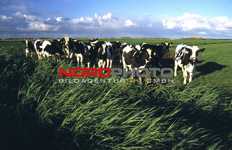 Norddeutschland, DEU, 02.05.2001;<br /> <br /> Schwarzbunte Milch-Kuehe auf den Marschwiesen in der norddeutschen Tiefebene<br /> (Norddeutschland, Naturschutz )<br /> <br /> [Foto ł nordphoto -  Foto ist honorarpflichtig! zzgl. 7 % MwSt. Belegexemplar erforderlich