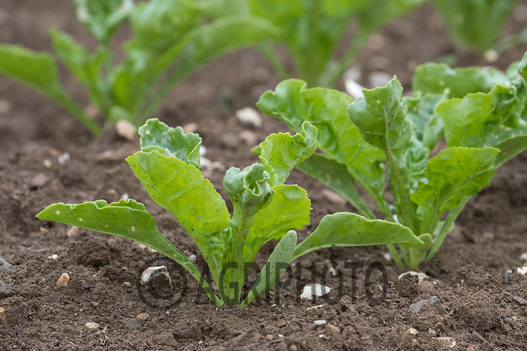 Sugar beet plants<br /> &copy;Tim Scrivener Photographer 07850 303986<br /> ....Covering Agriculture In The UK....