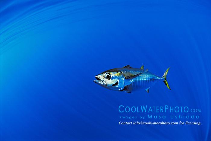 yellowfin tuna or `A-hi in Hawaiian, Thunnus albacares, juvenile or football, off Kona Coast, Big Island, Hawaii, Pacific Ocean.