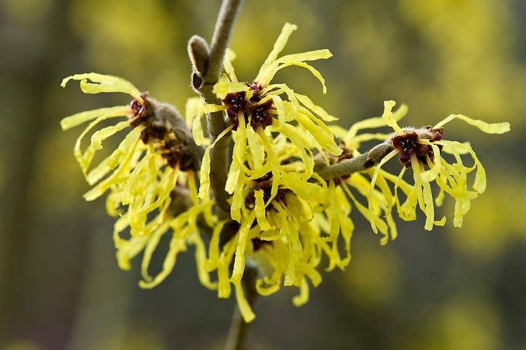 Chinese witch hazel (Hamamelis mollis 'Wisley Supreme'), end January.