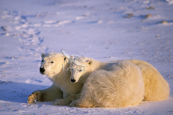 Polar bear mother with yearling cub.  (Ursus maritimus)