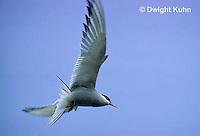 MC59-004z  Arctic Tern - flying above island - Machias Seal Island, Bay of Fundy - Sterna paradisaea