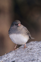 Dark-eyed Junco, Junco hyemalis, adult on ice, Burlington, North Carolina, USA