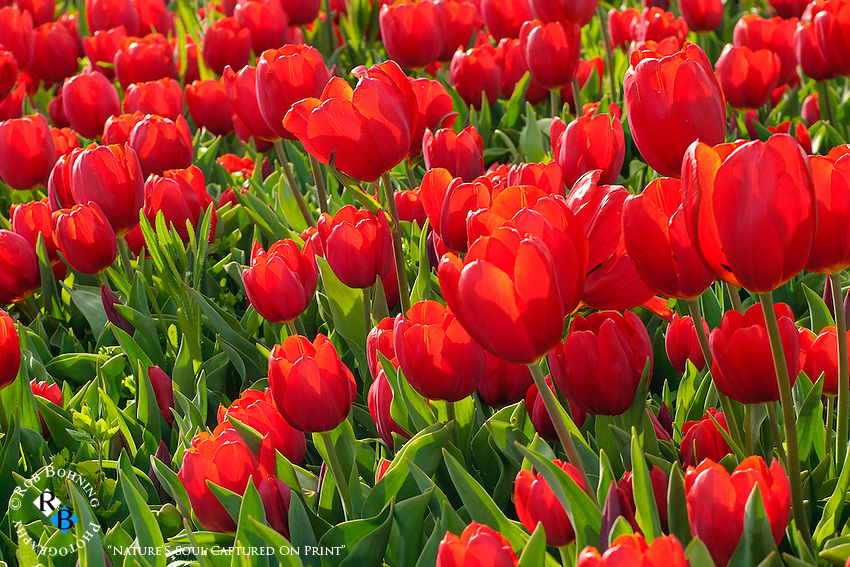Fields of vibrant red tulips at the Dutch Hollow Farms in California's central valley