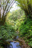 A stream runs through 'Akaka Falls State Park, framed by bamboo and lush green plants, Honomu, Big Island.