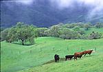 Cattle near Mt. Diablo