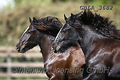 Bob, ANIMALS, REALISTISCHE TIERE, ANIMALES REALISTICOS, horses, photos+++++,GBLA3682,#a#, EVERYDAY