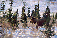Bull moose, boreal forest, rutting season, Denali National Park, Alaska