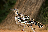 576010039 a wild greater roadrunner geococcyx califonianus in the rio grande valley texas united states