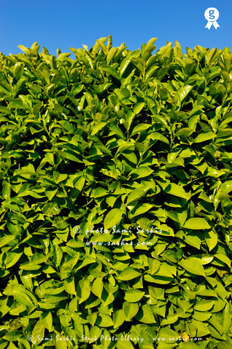 Green leaves hedge on blue sky (Licence this image exclusively with Getty: http://www.gettyimages.com/detail/104320843 )