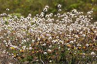 Hasenschwanz-Gras, Samtgras, Hasenschwänzchen,  Hasenschwanzgras, Lagurus ovatus, hare's-tail grass, hare's-tail, bunnytail, Bunny Tail, Harestail