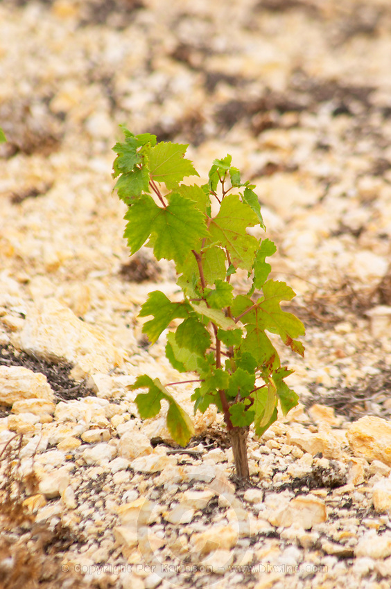 Prieure de St Jean de Bebian. Pezenas region. Languedoc. Vine leaves. Young vines. One year, first year. Three year old Chardonnay vine plants in the area of Frigolas on calcareous soil. Terroir soil. France. Europe. Vineyard. Calcareous limestone.
