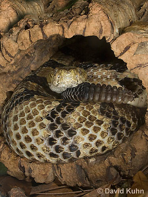 1211-1005  Timber Rattlesnake Resting in Cavity of Tree Displaying Rattler (Canebrake Rattlesnake), Crotalus horridus  © David Kuhn/Dwight Kuhn Photography