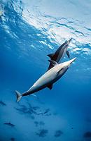 spinner dolphins nose, Stenella longirostris