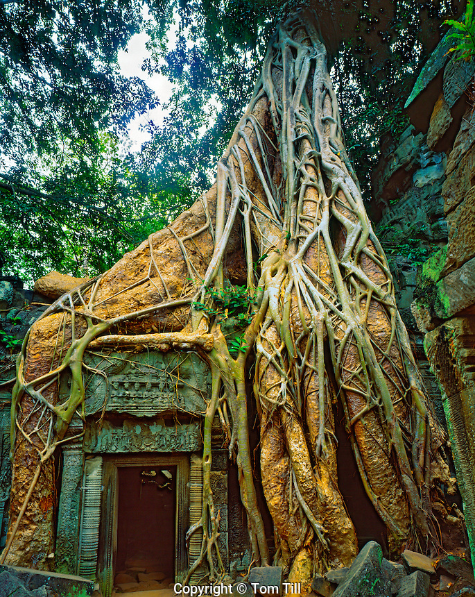 Strangler Figs Overtaking Ruins Built in 1186 at Ta Prohm, Angkor Watt Archeological Park, Cambodia