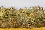 Magellanic deciduous forest, Torres del Paine National Park, Patagonia, Chile
