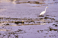 sea otter, Enhydra lutris nereis, and great egret, Ardea alba, in kelp, Endangered status, in kelp, Montery Bay, California, USA