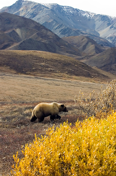 A grizzly bear walks past autumn-colored foliage near Denali Park Road on Sept. 15, 2006. The animals, which can weigh up to 500 pounds or more, are one of the park's biggest attractions.