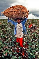 Trabalho infantil em colheita de algodão, Bariri. São Paulo. 1993. Foto: Juca Martins.