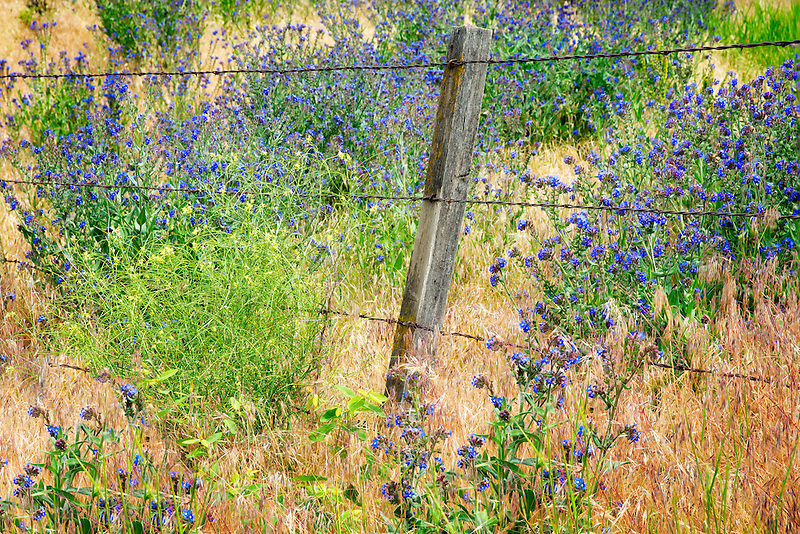 Variety of Forget-Me-Not and barbed wire fence. Along Imnaha River, Eastern Oregon. Hells Canyon National Recreation Area, Oregon