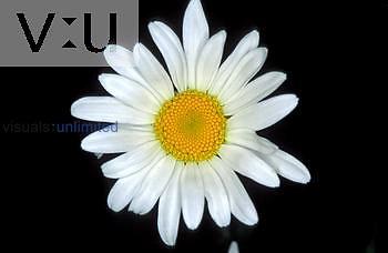 Ox Eye Daisy (Chrysanthemum leucanthemum) ray and disk flowers
