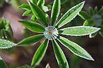 A drop of rain is centered on a leaflet of the Lupine wildflower plant