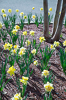 Bed of daffodils.<br /> (photo by Russ Houston / &copy; Mississippi State University)