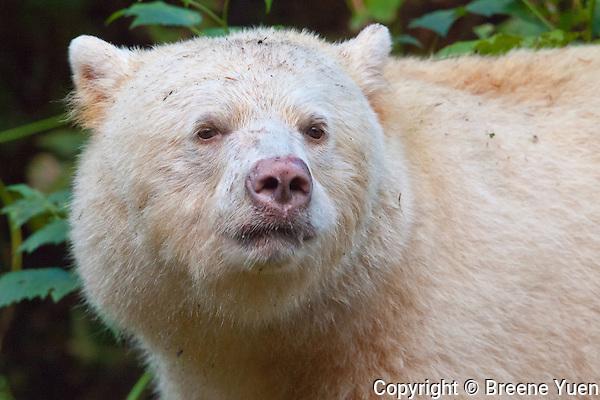 Spirit Bear 'Ringer' Portrait
