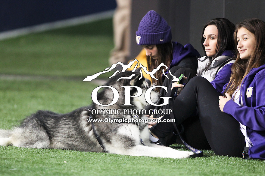 Nov 08, 2014:  Washington mascot Dubs takes a breather on the sidelines during the game against UCLA.  Washington defeated UCLA at Husky Stadium in Seattle, WA.