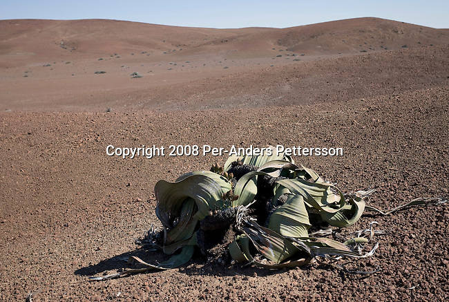 KUNENE, NAMIBIA - APRIL 27: A plant sits in the middle of a dried desert on April 27, 2008 in Kunene, Namibia. This area is one of the most remote in the world with very few people or animals passing through. (Photo by Per-Anders Pettersson)..