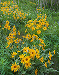 Grand Teton National Park, WY: Balsamroot (Balsamorhiza sagittata) blooming in an aspen grove