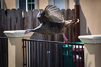 Wild Turkeys can fly, but prefer to walk.  This female flew up onto a fence railing and paused a moment before flying on the few feet to the ground on the other side.