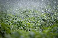 Irrigating potatoes in June