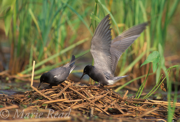 Black Terns (Chlidonias niger), pair during incubation exchange at their nest, Jefferson County, New York, USA<br /> Slide # B60-70
