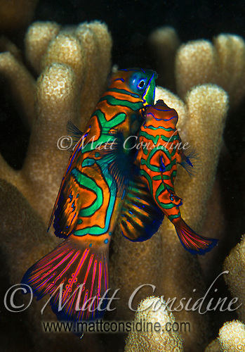 Male and female Mandarin fish in mating dance. The large one is the female and the small one the male. When mating, they emerge very briefly out of the coral and move into the open water, before darting back to the safety of the coral, Palau Micronesia. (Photo by Matt Considine - Images of Asia Collection) (Matt Considine)