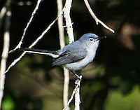 Adult blue-gray gnatcatcher